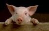Pig Peeking O'er Fence
