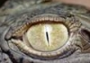 croc77: глаз