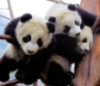 pandas from Lyle