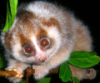 hutch0: Slow Loris