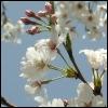 sabishiisakura userpic