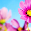 _stock - pink flower/blue sky