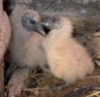 baby vultures 2006
