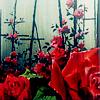 Purpleyin/Hans: rose