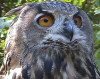 OwlDragon: Owl