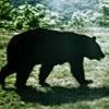 strolling bear