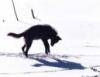 skollwolf