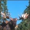 Moose: I am bigger then you