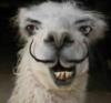 moustache llama