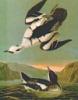 Misc:  Audubon seabirds