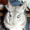 Merlin, Chinchilla