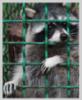 verywildraccoon userpic