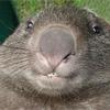 wombat_big