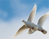 Two doves fly