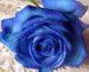 咲き残る薔薇