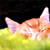 Orange tabby napping