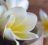 flora: frangipani