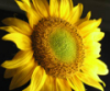 flora: sunflower