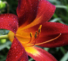 Icarii Enchantress: Fire Lilly