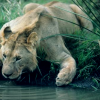 Lion drink