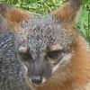 tanfouk: fox