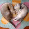 ferrets sleeping in heart