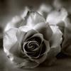чб роза