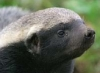 hutch0: Honey Badger