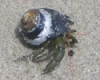 HermitCrab