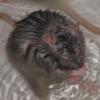 shy rat