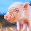Piggy<3