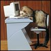 ferret on computer