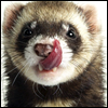ferret sticking out tongue