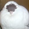 king_pigeon userpic