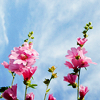 misc: pink flowers against sky
