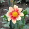 Nature Flower - Dahlia