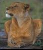 Content Lioness