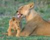 LionessCleaningCub