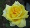 yaler rose