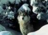 cynder_wolf userpic