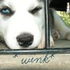 siberian husky, wink