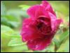 Ann: Misc -- alaskan rose