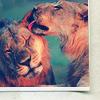 Random Lion kiss