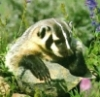 garden badger