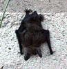 sleepy  bat