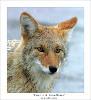 bezzubij_kojot