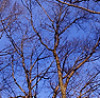 winter oaks: leafless ends