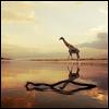 спокойно? жираф