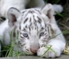 маленький тигрь