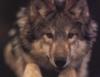 Loup Face